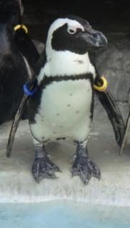 脱走ペンギン